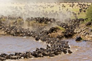Great Wildebeest Migration crossing the Mara River