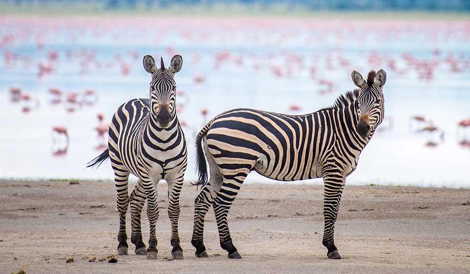 pamoja-safaris-tanzania-zebras-ngorongoro