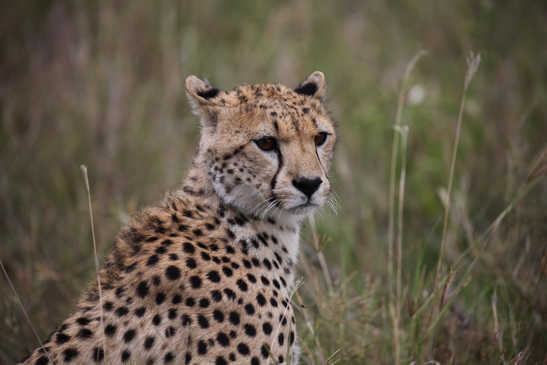 A cheetah assesses the situation.