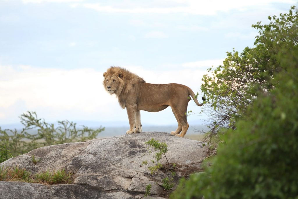 A juvenile male lion scans the horizon from his throne.